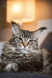 Portrait of big cat,on a dark background Royalty Free Stock Image
