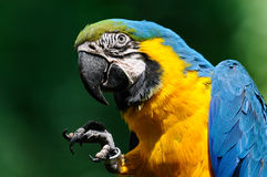 Portrait of the big color parrot. Portrait blue-and-yellow macaw - (Ara ararauna Royalty Free Stock Images