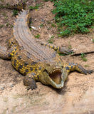 Portrait of a big crocodile. With mouth open Royalty Free Stock Photography