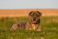 Portrait of big dog-cane corso royalty free stock images
