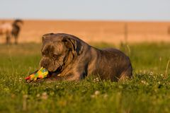 Portrait of big dog - cane corso Royalty Free Stock Images