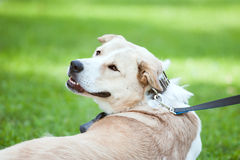 Portrait of big dog laying on a grass Royalty Free Stock Photography