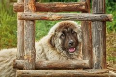 Dog near the Ladder. Portrait of Big Dog near the Ladder Royalty Free Stock Image