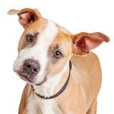 Portrait Big Dog Tilting Head Royalty Free Stock Photo