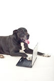 Portrait of big dog using laptop Stock Photo