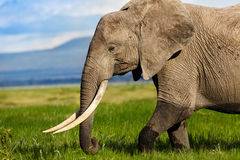 Portrait of a big Elephant. Elephant with amazing tusks in the swamp of Amboseli National Park in Kenya stock image