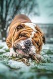 Portrait of big English bulldog Stock Photo