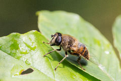Portrait of a big fly Stock Photography