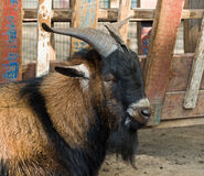 The portrait of big goat Royalty Free Stock Photography