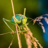 Portrait of big grasshopper. The singing grasshopper looking attentively at camera Royalty Free Stock Photo