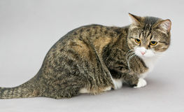 Portrait of a big gray striped cat Royalty Free Stock Photo