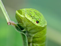 Portrait of a big green caterpillar Royalty Free Stock Images