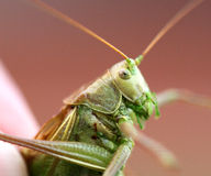 Portrait of a big green locust in the hands Stock Photography