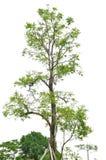 Portrait big green tree on white background Royalty Free Stock Image