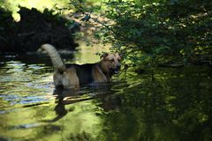 Portrait of big mongrel dog swimming in the water. Portrait of big happy mixed breed dog swimming in the water stock photos