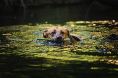 Portrait of big mongrel dog swimming in the water. Portrait of big happy mixed breed dog swimming in the water royalty free stock images