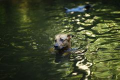 Portrait of big mongrel dog swimming in the water. Portrait of big happy mixed breed dog swimming in the water royalty free stock photos