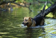 Portrait of big mongrel dog swimming in the water. Portrait of big happy mixed breed dog swimming in the water stock images