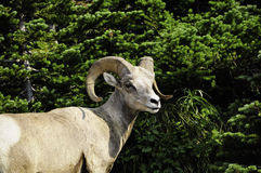 Portrait of a Big Horn Sheep Royalty Free Stock Photo