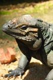 Portrait of A Big Iguana Royalty Free Stock Photos