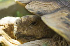 Portrait of big land turtle in shell Stock Photos