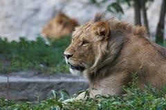 Portrait of a big lion Stock Photos