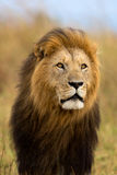 Portrait of big Lion Caesar. Big Lion Caesar, son of Lion Notch, with a very beautiful mane blowing in the wind in Masai Mara, Kenya royalty free stock photo