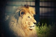 Portrait of big lion Royalty Free Stock Images
