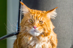 Portrait of Big Maine Coon Cat sitting on the Chair like a Boss in his Office. Horizontal View Royalty Free Stock Photography