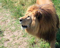 Portrait of a big male African lion against a grass Stock Images