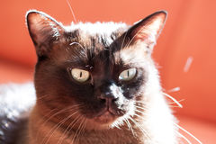Portrait of a big male cat Stock Images