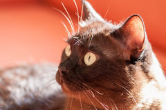 Portrait of a big male cat Stock Photos