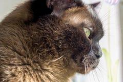 Portrait of a big male cat Stock Image