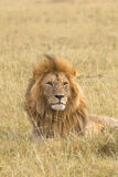 Portrait of a big male lion Royalty Free Stock Image