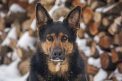 A big dog in front of snowy background royalty free stock photography
