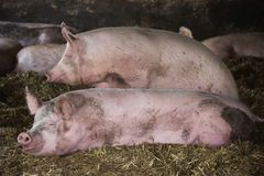 Portrait of a big pig sows indoors at barn Stock Photography