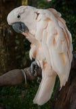 Portrait of a big rose parrot, Koh Samui, Thailand Royalty Free Stock Image