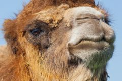 Portrait big and sad camel with a drop of tears in his eye. Reservation Askania Nova, Ukraine Stock Photos