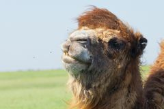 Portrait big and sad camel with a drop of tears in his eye. Rese. Rvation national park Askania Nova, Ukraine Royalty Free Stock Photos