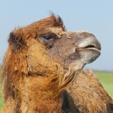 Portrait big and sad camel with a drop of tears in his eye turne. D out from you. Reservation Askania Nova, Ukraine Stock Images