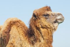 Portrait big and sad camel with a drop of tears in his eye turne. D out from you. Reservation national park Askania Nova, Ukraine Stock Images