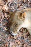 Portrait of big sleeping female Lion Stock Images