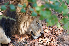 Portrait of big sleeping male Lion Royalty Free Stock Image