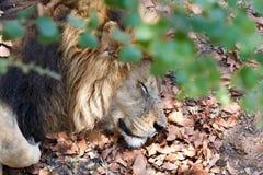 Portrait of big sleeping male Lion Royalty Free Stock Image