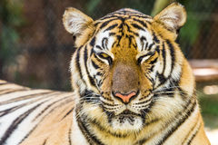 Portrait of big tiger Royalty Free Stock Image