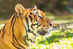 Portrait of big tiger Stock Photo