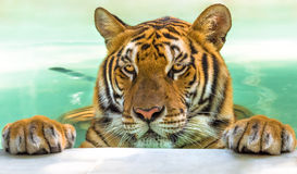 Portrait of big tiger Stock Photos