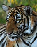 Portrait of the big tiger, Thailand Royalty Free Stock Images