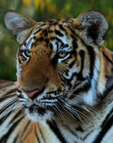 Portrait of the big tiger, Thailand, Tiger Temple Stock Images