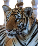 Portrait of the big tiger, Thailand, Tiger Temple Royalty Free Stock Images